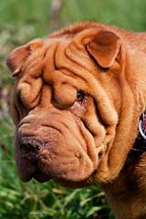 dog breed(1.0), animal(1.0), dog(1.0), dogue de bordeaux(1.0), pet(1.0), snout(1.0), shar pei(1.0), carnivoran(1.0),