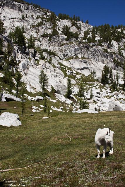 goats7