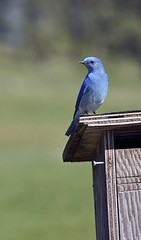 branch(0.0), close-up(0.0), blue jay(0.0), jay(0.0), crow-like bird(0.0), wildlife(0.0), animal(1.0), perching bird(1.0), wing(1.0), nature(1.0), fauna(1.0), bluebird(1.0), blue(1.0), beak(1.0), bird(1.0),