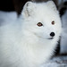 White fox by nemi1968