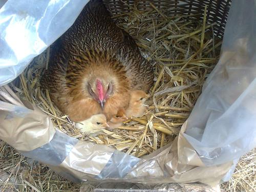 Dame poule & les 3 pousins