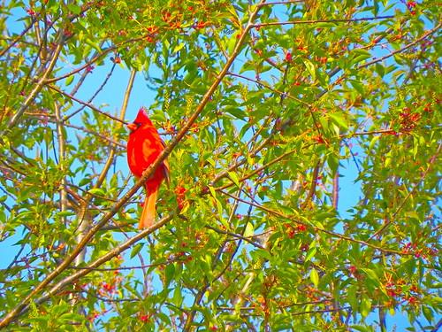 Cardinal--© Richard Pallardy