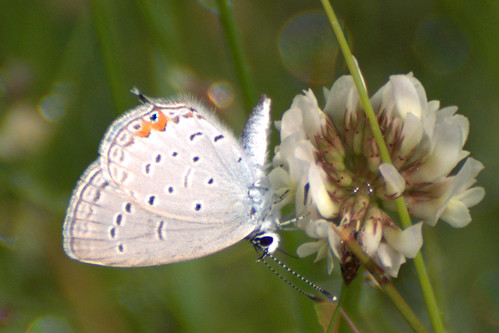 Eastern Tailed Blue [Cupido comyntas]