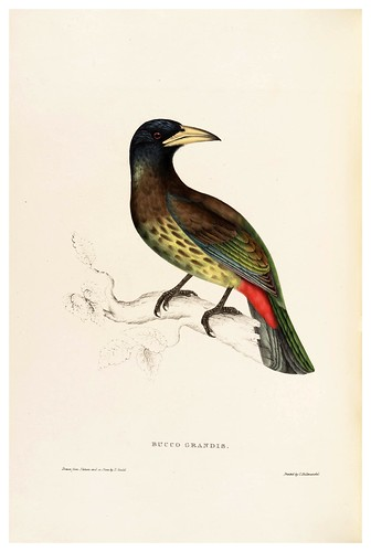 002-Busco Grandis-A Century of Birds from the Himalaya Mountains-John Gould y Wm. Hart-1875-1888-Science Naturalis