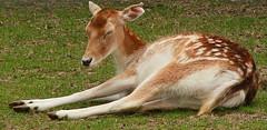 Bambi Naps