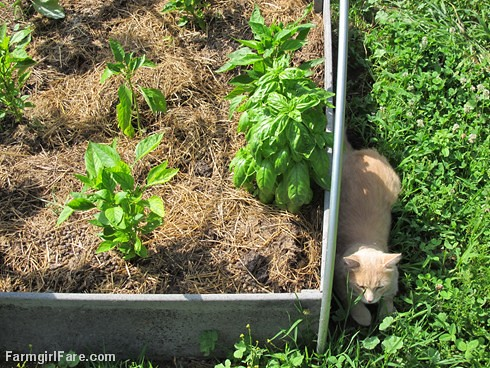 (32-3) Jasper in a sliver of shade - and for once not in the garden bed - FarmgirlFare.com
