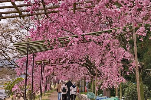 【写真】桜 : 半木の道