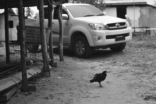 chicken on village road