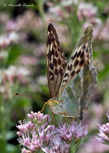 Argynnis paphia paphia f. valesina (Esper, 1800)