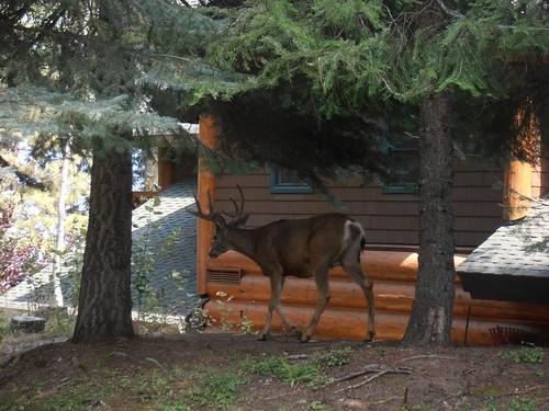 CC deer15