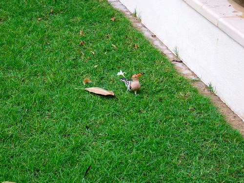 Hoopoes in the Yard