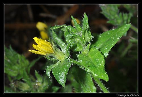 Picride fausse vipérine (Picris echioides)
