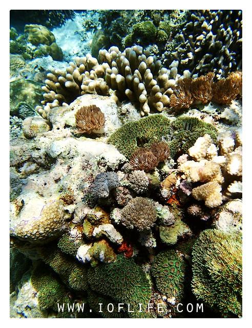 karang hijau pulau kambing