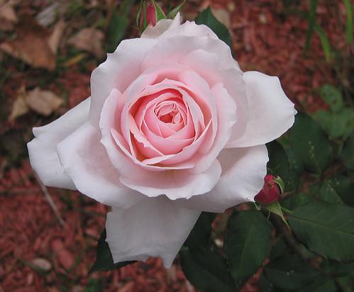 An October Rose. by Leenechan
