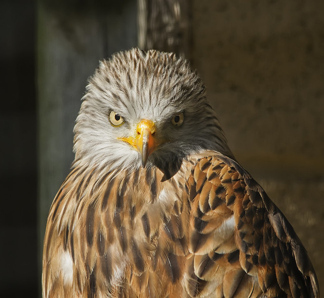 Red Kite In Thought