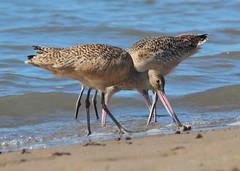animal, sea, fauna, redshank, sandpiper, bird, wildlife,