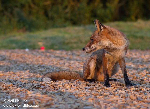 red fox_-14