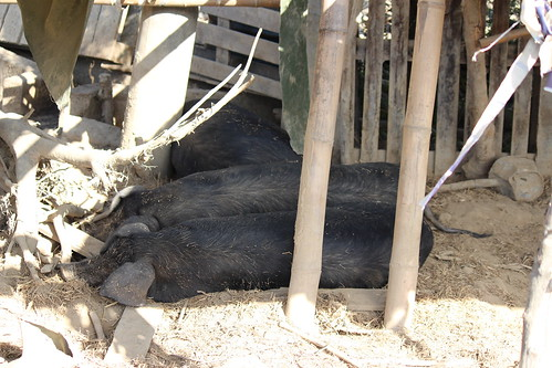 有床可睡的豬隻。