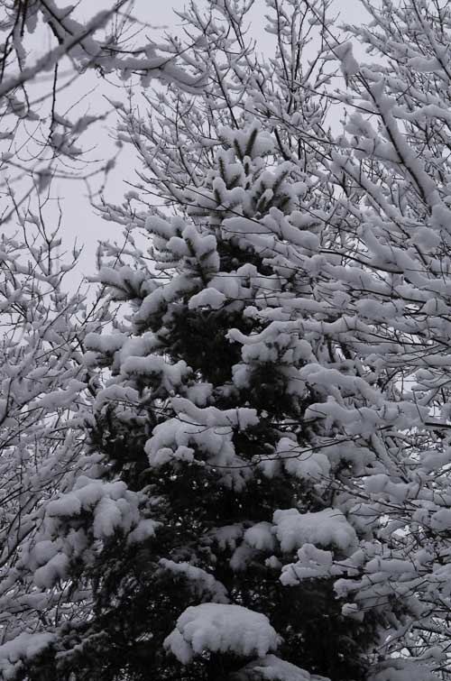 First Snow Tree