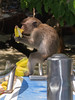 Phi Phi Island Monkey sits on end of our boat eating a banana