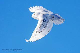 Parker River NWR, MA: Snowy Owl Aloft