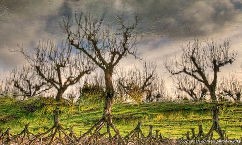Flood Reflections (Explored) - Conyer (Kent)