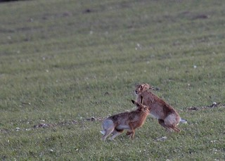 Boxing Hares 2 of 4