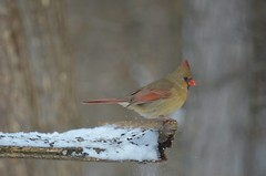 animal, wing, nature, fauna, finch, cardinal, emberizidae, beak, bird, wildlife,