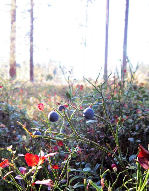 Autumn 2011 - blueberries