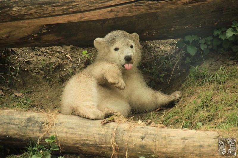 Tierpark Hellabrunn Eisbären 06.04.2014