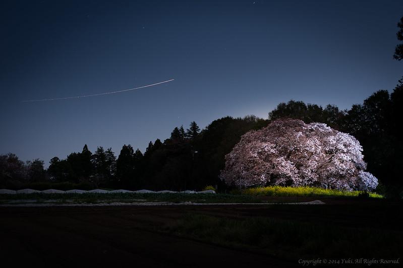 孤桜#1 (Ko Sakura)