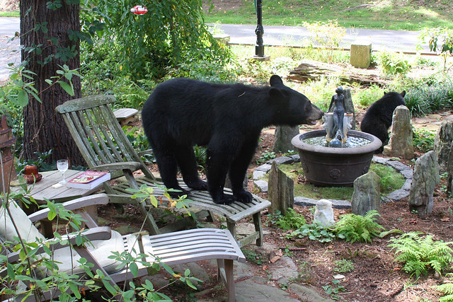 your average suburban bear enjoys Asheville (by: anoldent, creative commons)