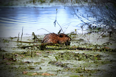 wetland, swamp, animal, leaf, rodent, nature, fauna, beaver, wildlife,