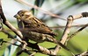 Female House Sparrow by ramseybuckeye