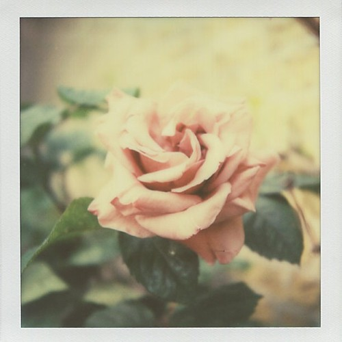 17/365 Square (last one of the April theme). First of the roses. It's become a tradition to shoot the first rose in bloom in the garden. This rose is amazing, a hand full gorgeous soft vintage pink. #a52inpolaroid #mylifeinpolaroid #thepolagirlsclub #pola