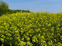 shrub(0.0), vegetable(0.0), produce(0.0), food(0.0), canola(1.0), prairie(1.0), flower(1.0), field(1.0), yellow(1.0), mustard plant(1.0), brassica rapa(1.0), mustard(1.0), wildflower(1.0), meadow(1.0), rapeseed(1.0),