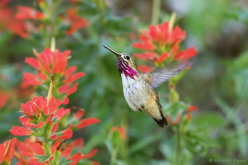Calliope-Hummingbird-051014-3