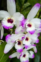 cattleya trianae(0.0), cattleya labiata(1.0), flower(1.0), plant(1.0), laelia(1.0), flora(1.0), dendrobium(1.0), petal(1.0),