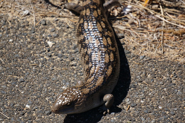 A big lizard (about a foot long)