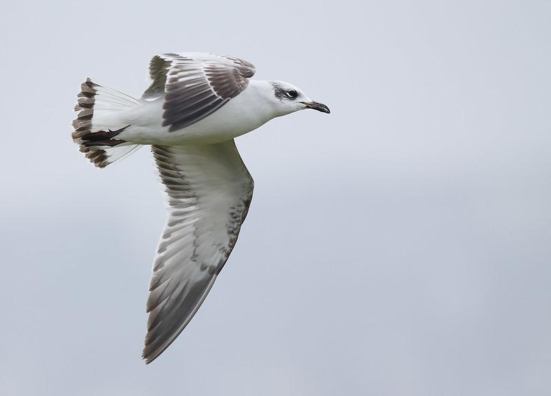 1st Winter Med Gull
