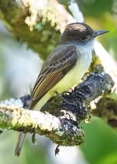 Dusky-capped Flycatcher