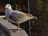 Ring-billed Gull by Dennis Cheasebro