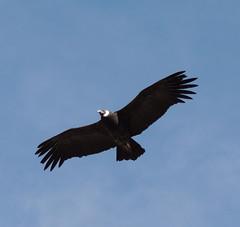 Soaring Andean Condor