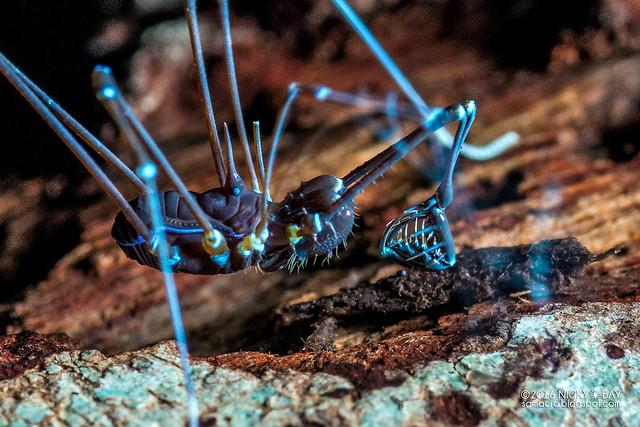 Excavator harvestman (Epedanidae) - DSC_2734b