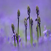 Budding Bluebells