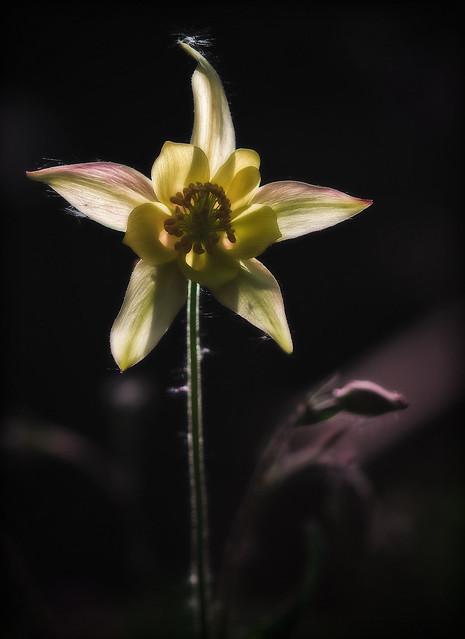 Yellow Columbine (Aquilegia Flavescens)