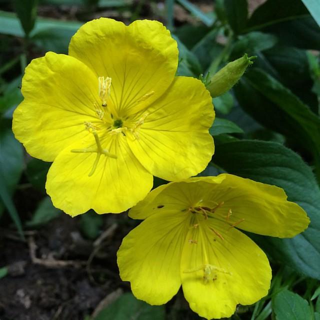 Primroses #flowers #patiogarden #garden #primrose