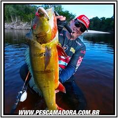 Maicon Bianci, staff da revista pesca e companhia e proprietário de um dos bardos mais procurados para a pesca do tucunare açú na região de Barcelos-MG. Na foto um belossimo açú fisgado a bordo do tucuna barco hotel.  #pescaamadora #pescaesportiva #pesque
