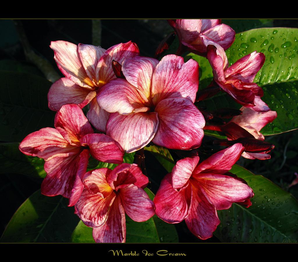 Mad plumerians most recent flickr photos picssr rare flowers the plumeria marble ice cream izmirmasajfo Images