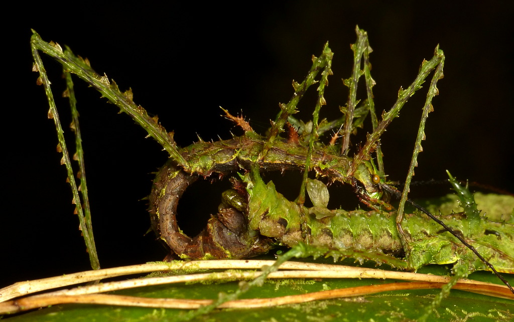 Spiny Stick Insects, Parobrimus sp., mating on an orchid leaf